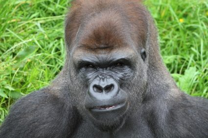 There's a reason why trying to extrapolate dating advice from gorillas is a bad idea.
