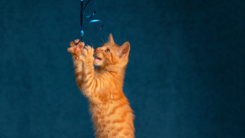 an orange tabby kitten playing with a toy on a string