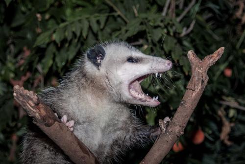 Virginia opossum in fork of tree, hissing