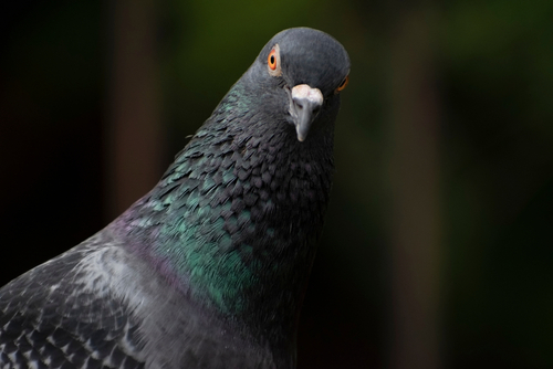 photo of asiatic rock dove pigeon looking angry