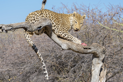 leopard crouched on a tree branch