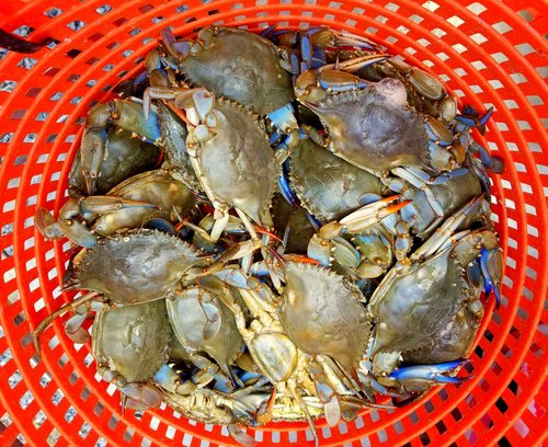 A pile of live blue crabs inside of a red bucket